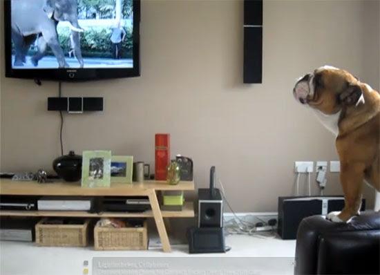 Bulldog νομίζει ότι είναι ελέφαντας
