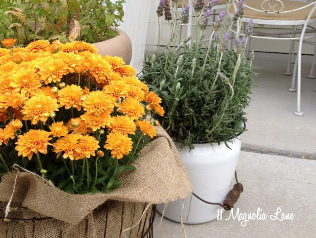Mums and lavender fall flowers