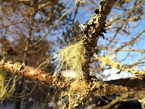Raindeer Moss and Lichen