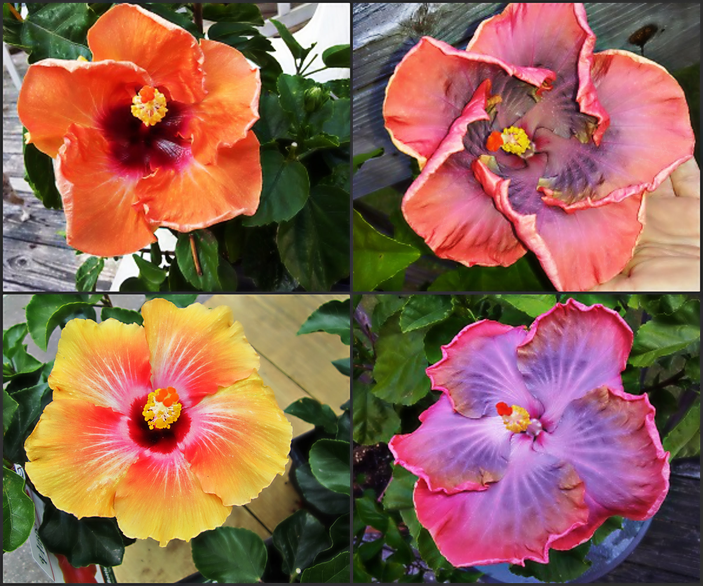 Hibiscus plant food for critters