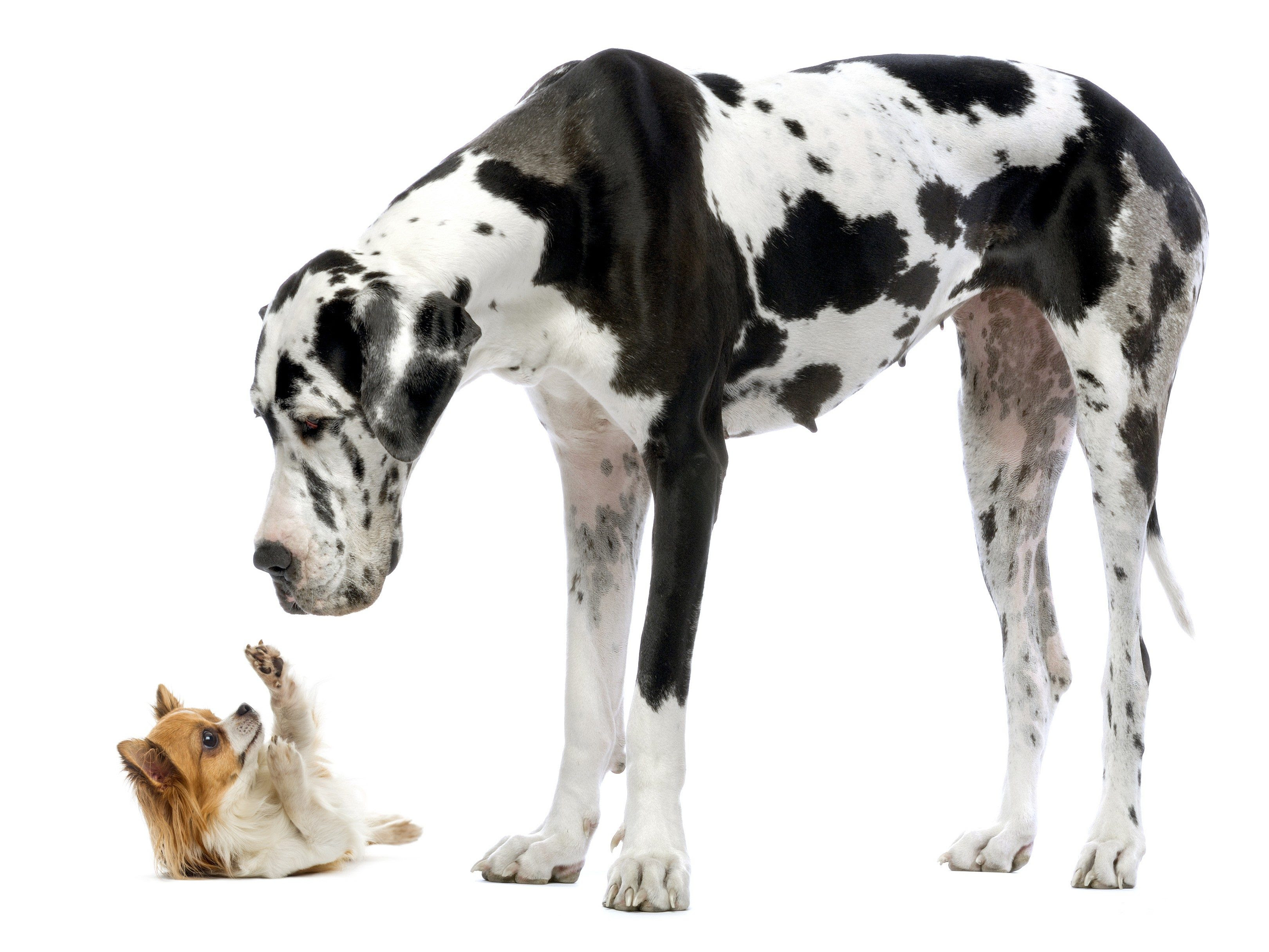 The 10 Largest Dog Breeds in the World