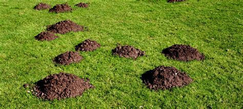 How to Get Rid of Moles in Your Yard   Mole Removal in Chicago Area