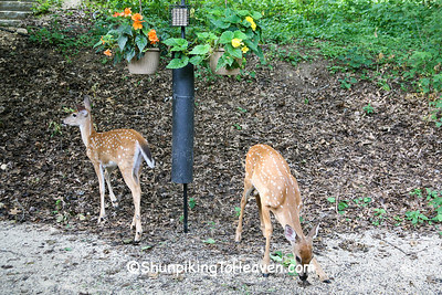 Twin Fawns Coming for a Drink, Dane County, Wisconsin