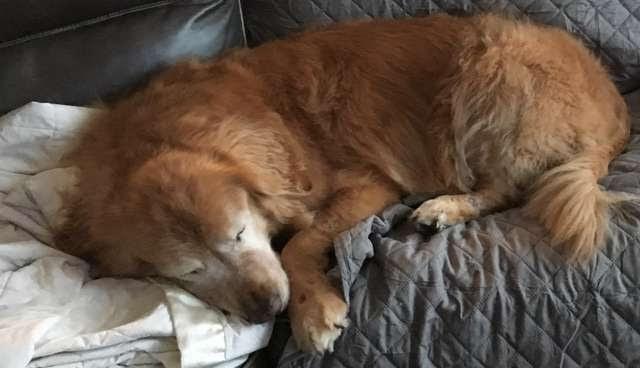 """Un perrito anciano ciego consigue su propio """"perro guía"""" y recupera la alegría de vivir"""
