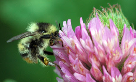 Rare bumblebees comeback