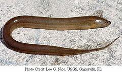 belut Monopterus_albus