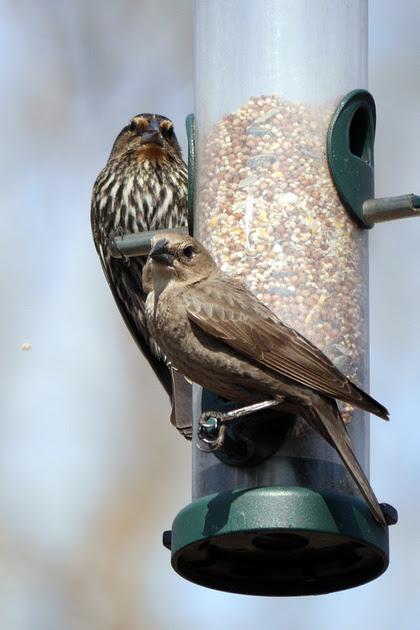Ed Gaillard: birds &emdash; Red-Winged Blackbird and Brown-Headed Cowbird, Central Park