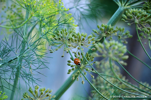 Lady beetle on dill