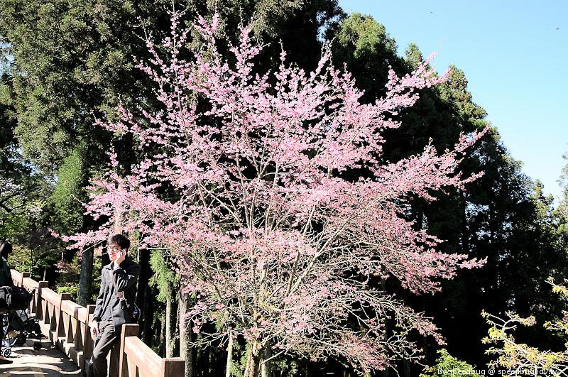 阿里山櫻花季59