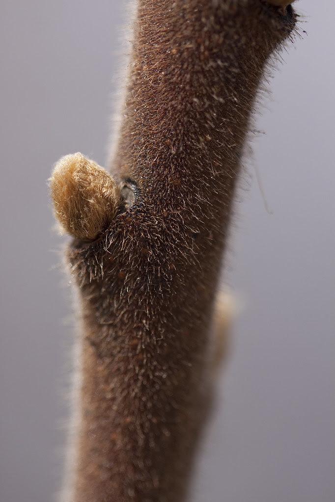 fuzzy branch bud