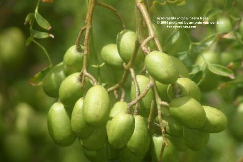 ελαιο-neem-δέκα-θεραπευτικές-χρήσεις