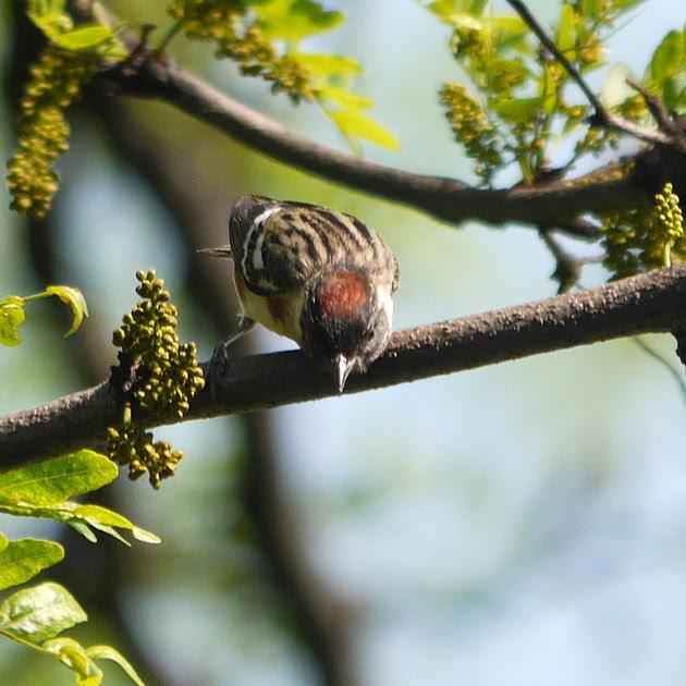 Ed Gaillard: birds &emdash; Bay-Breasted Warbler, Central Park