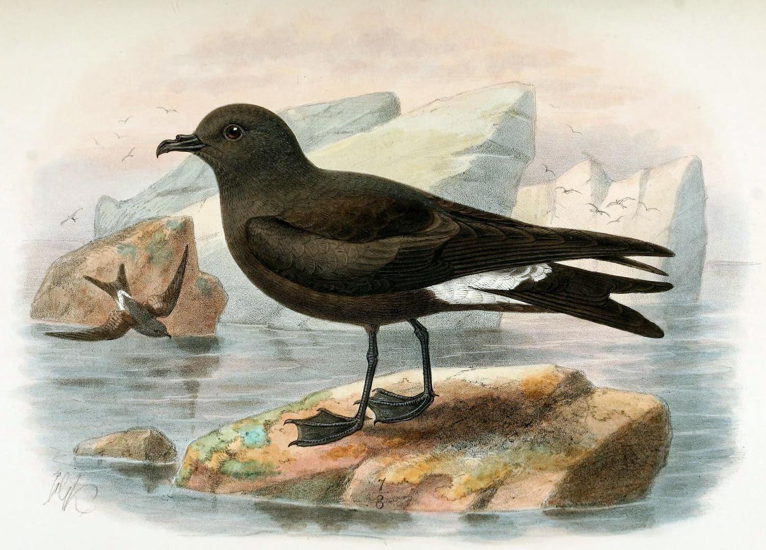Petral de Guadalupe (Oceanodroma macrodactyla)