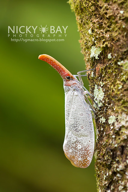 Lantern Bug (Pyrops sultana) - DSC_9245