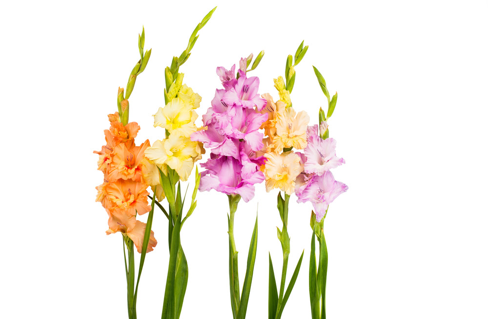 Gladiolus The Perfect Flower For August French Florist