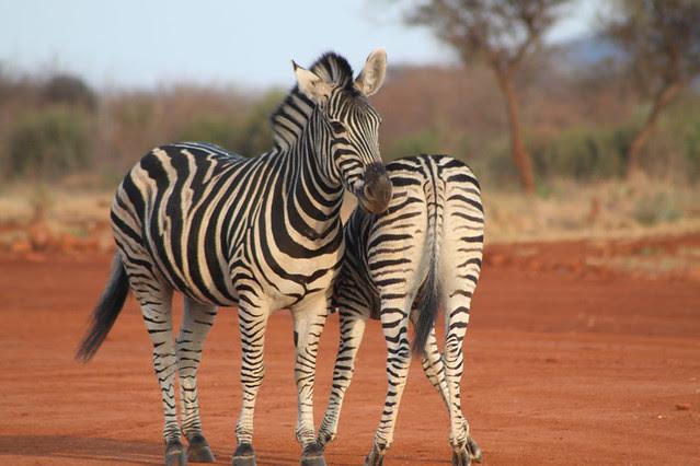 zebra back to front