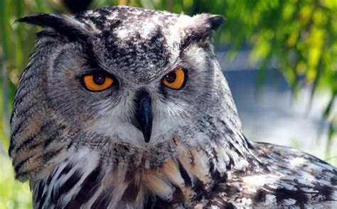 SECOND NATURES EYE COIN FOCUSES ON ONE OF THE WORLDS BIGGEST OWLS   AgAuNEWS
