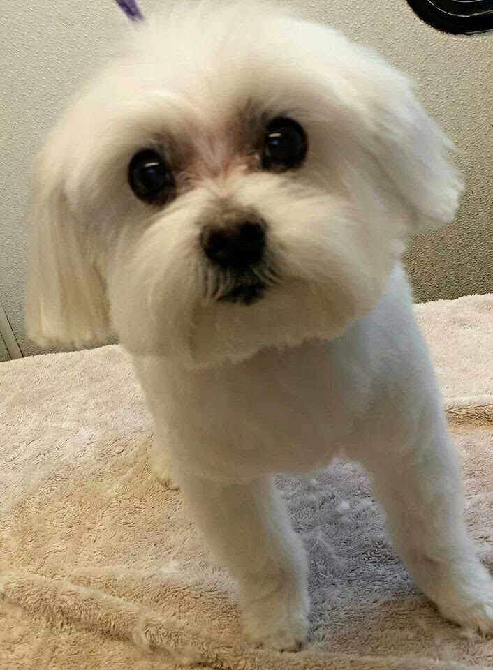 Maltese Puppy-NOT AVAILABLE near to you in Northwest Territories Canada