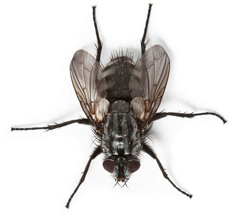 Fly Infestation and Problems with Flies and Maggots