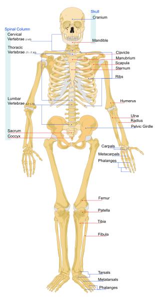 Beberapa Fakta Tentang Tulang Anda