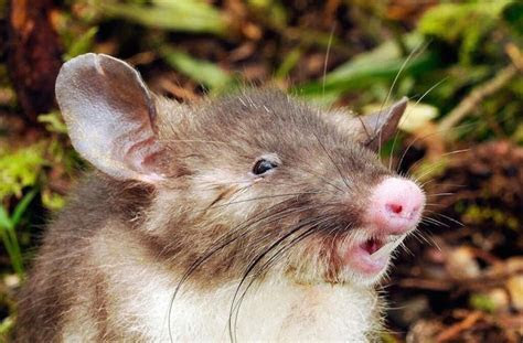 This Pig Nosed Rat with Vampire Teeth Will Haunt Your Dreams