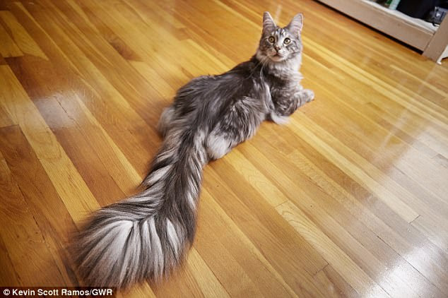 Silver Maine Coon cat, Cygnus  is the record holder for the longest tail on a domestic cat (living) at 44.66 cm (17.58 inches)