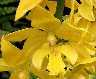 Calanthe sieboldii Flower