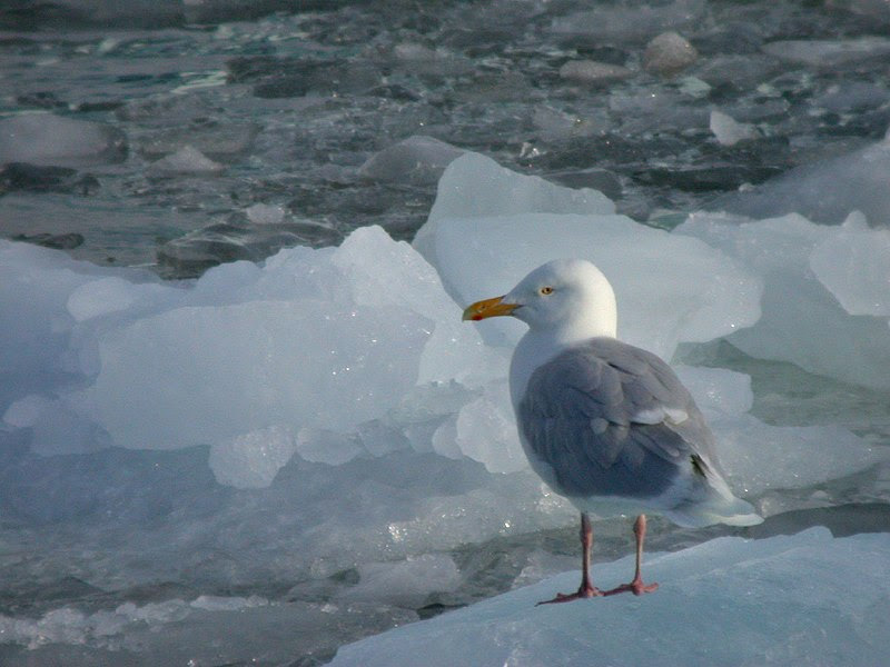 File:Glacous Gull on ice.jpg