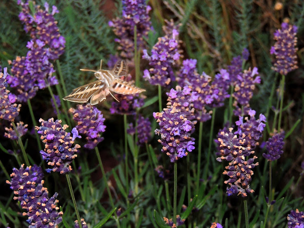 hummingbird moth with revived lavender