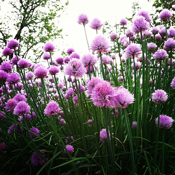 Chive forest