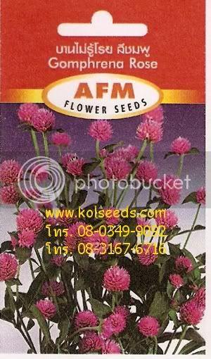 เมล็ดพันธุ์ดอกบานไม่รู้โรยสีชมพู