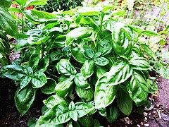 Selasih Eropa (Ocimum basilicum)