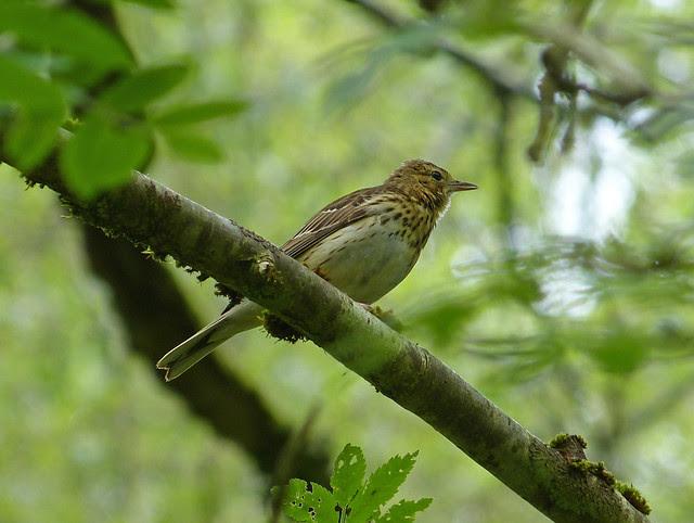 27385 - Tree Pipit, RSPB Dinas