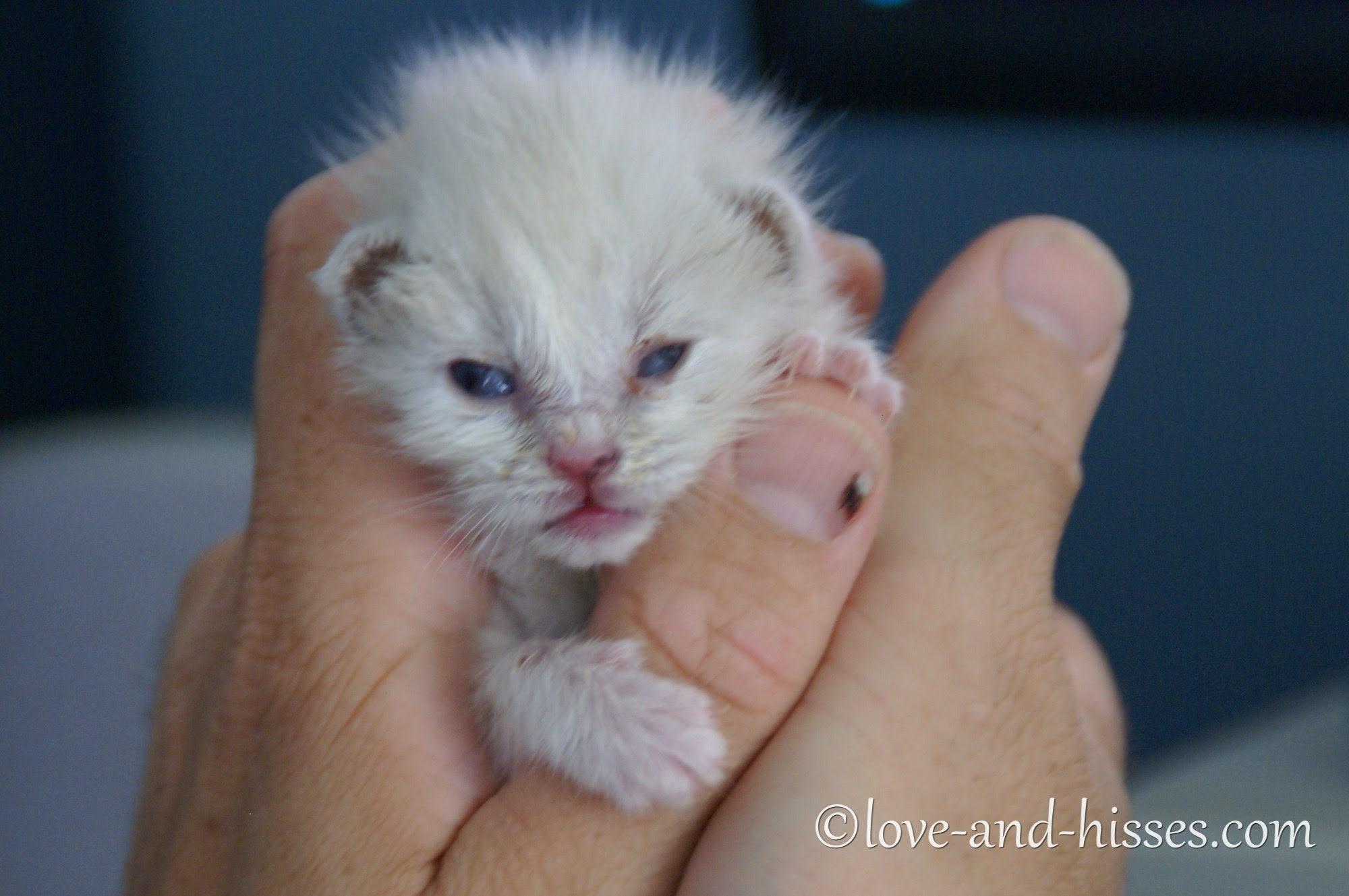 week old white kitten being held in two hands