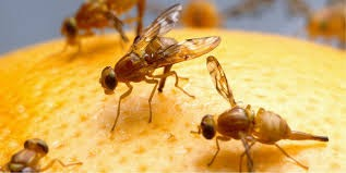 Some Methods of Killing Fruit Flies from your Kitchen Forever!