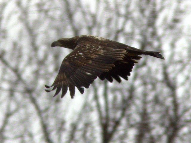 Bald Eagle 20130214
