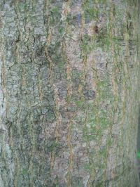 Borke von Acer palmatum Fächer-Ahorn