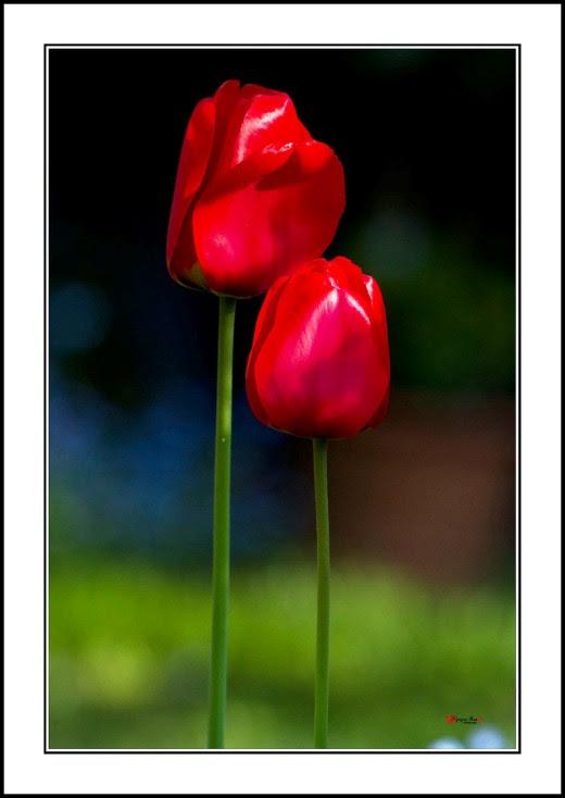 007 Tulip