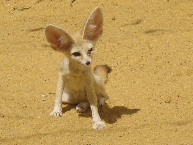 File:Fennec fox.jpg