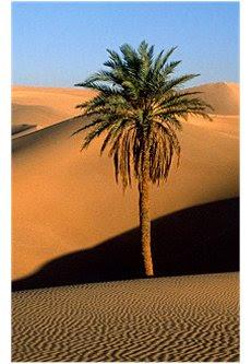 Palmeira Deserto