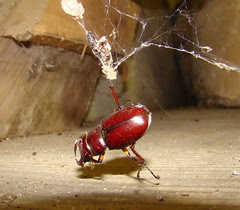 RBstag beetle caught