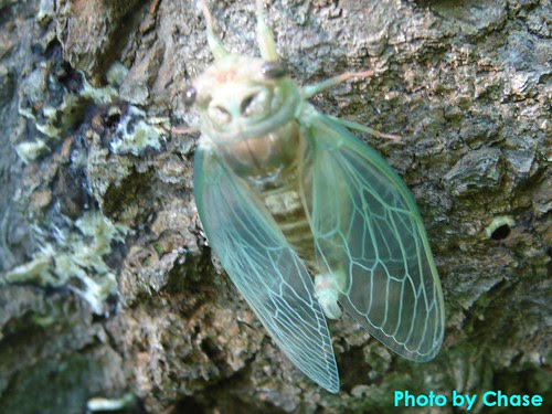 Chase's Cicada