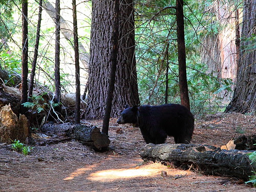 IMG_9815L Bear on the Trail, Kings Canyon National Park
