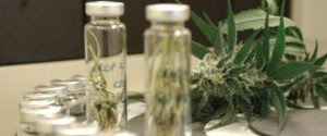Conselho Federal de Medicina autoriza uso de maconha medicinal para tratar epilepsia em crianças e adolescentes