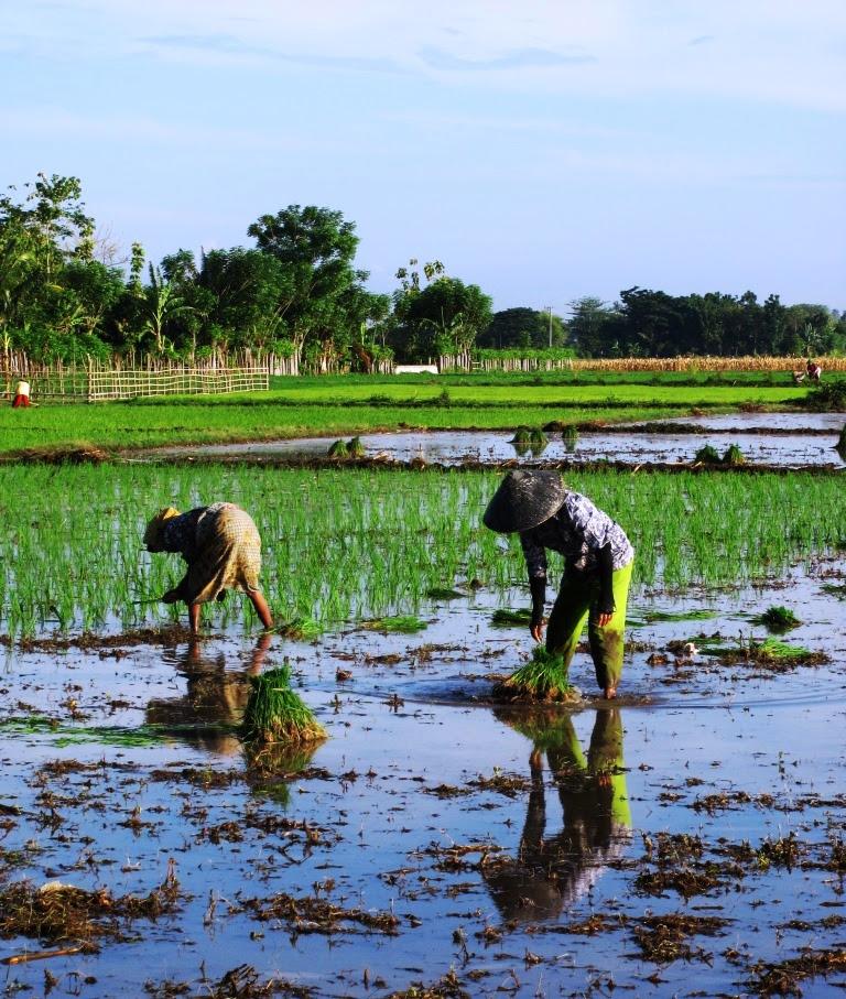 Menanam padi, bercocok tanam padi, menghitung waktu menanam padi