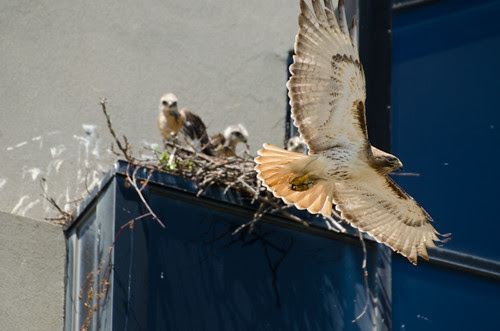 Buzz Leaving Nest with Chicks in Background