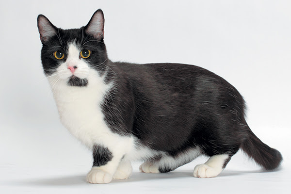11 Things To Know About The Munchkin Cat Catster