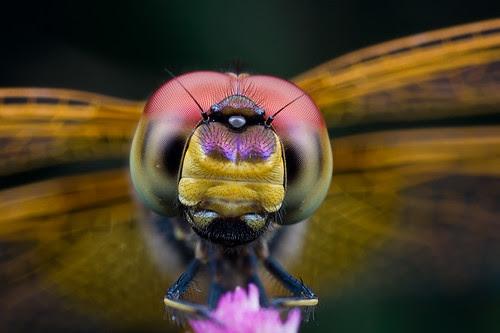 dragonfly portraitIMG_1477 copy