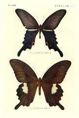 papill 7