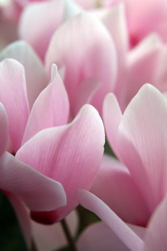 ciclamini rosa
